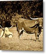 Longhorn Cows Rsting In Monochrome Metal Print