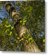 Looking Up At A Tree Trunk Metal Print