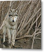 Looking Wild Metal Print