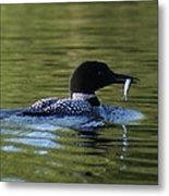 Loon With Minnow Metal Print
