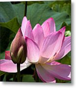 Lotus Bud--here Is How You Do It Dl065 Metal Print