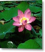Lotus Flower And Capsule 24a Metal Print