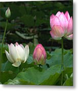 Lotus--stages Of Life II Dl024 Metal Print