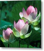 Lotus--stepping Stones 24p Metal Print