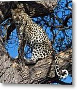 Lounging Leopard Namibia Metal Print by David Kleinsasser
