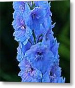 Lovely Larkspur Blue Metal Print