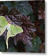Luna Moth 1 Metal Print