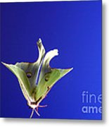 Luna Moth In Flight Metal Print
