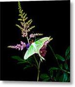 Luna Moth On Astilby Flower Metal Print
