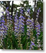 Lupine Patch Metal Print