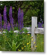Lupines With Fence Metal Print