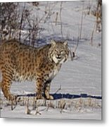 Lynx In Winter Metal Print