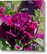 Maco Petunia Flower Double Burgundy Madness Art Prints Metal Print