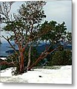 Madrone On Young Hill Metal Print