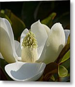 Magnificent Alabama Magnolia Blossom Metal Print