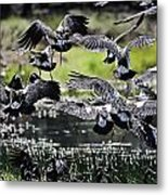 Magpie Geese In Flight Mcminn Lagoon Metal Print