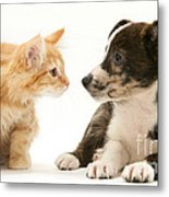 Maine Coon Kitten And Mongrel Dog Metal Print