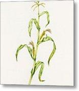Maize (zea Mays) Metal Print by Lizzie Harper