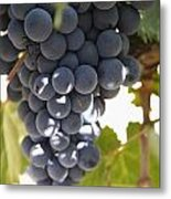 Malbec Grapes On The Vine Metal Print