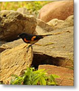 Male American Redstart On The Rocks Metal Print