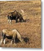Male And Female Moose Alces Alces In Metal Print