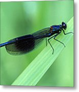 Male Banded Damselfly Metal Print
