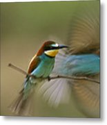 Male Bee Eater Leaves Perch To Find Metal Print