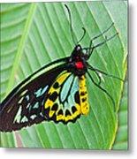 Male Cairns-birdwing Butterfly Metal Print