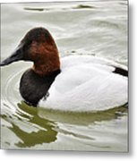 Male Canvasback Duck  Metal Print