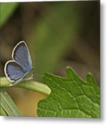 Male Eastern Tailed Blue Butterfly 3063 Metal Print