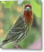 Male House Finch Metal Print