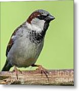 Male House Sparrow Metal Print