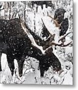 Male Moose Grazing In Snowy Forest Metal Print