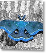 Male Moth Light Blue Metal Print