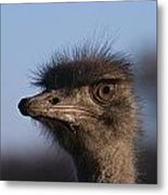 Male Ostrich Namibia Metal Print by David Kleinsasser