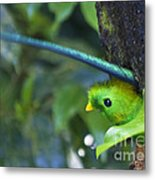 Male Quetzal Working On Nest Hole Metal Print