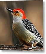 Male Red-bellied Woodpecker 4 Metal Print