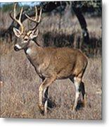 Male White-tailed Deer Metal Print