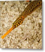Male Yellow Banded Pipefish Carrying Metal Print