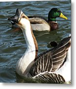 Mallard And Chinese Swan Goose - Anser Cygnoides - Featured In Wildlife Group Metal Print