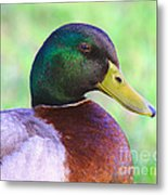 Mallard Drake In Shade Metal Print