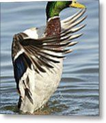 Mallard Duck Having A Flapping Good Time Metal Print
