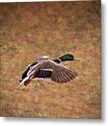 Mallard Duck In Flight Metal Print