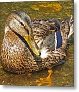 Mallard Duck Metal Print