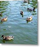 Mallard Ducks Metal Print
