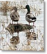Mallard Ducks Standing On A Rock Metal Print