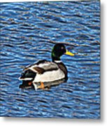 Mallard Swimming Metal Print