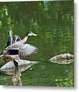 Mallards Taking Off Metal Print
