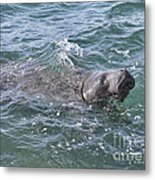 Manatee At Ponce Inlet Metal Print