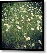 Manchester Daisies Metal Print by Chris Jones